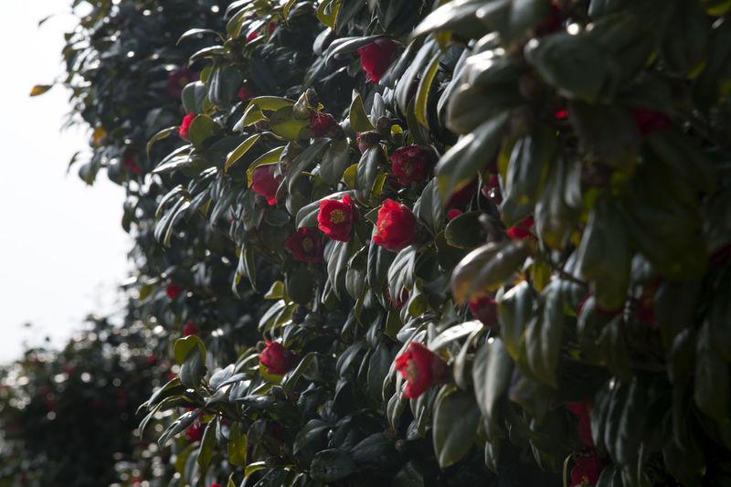 camellia flowers at Jangsado Island in Tongyeong, Gyeongnam, South Korea. Taken with Nikon D850 Beautiful Nature Camellia Nature's Beauty Nikon D850 South Korea Tongyeong Beauty Of Nature Camellia Flower Camellia Flowers D850 Jangsado Outdoor Outdoor Photography Outdoors Spring Spring Flower Spring Flowers Spring Time
