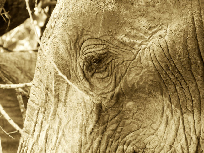 Black & White Kenya Kenya Wildlife Wildlife & Nature African Elephant Blurred Background Close-up Elephant Eye Herbivore Macro Nature Mammal Nature Rough Safari Safari Adventure Safari Animal Safari Animals Tsavo Tsavo East Wild Wildlife