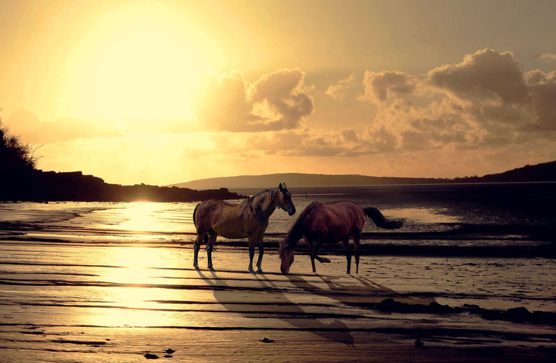 Horses on sea shore against sky during sunset