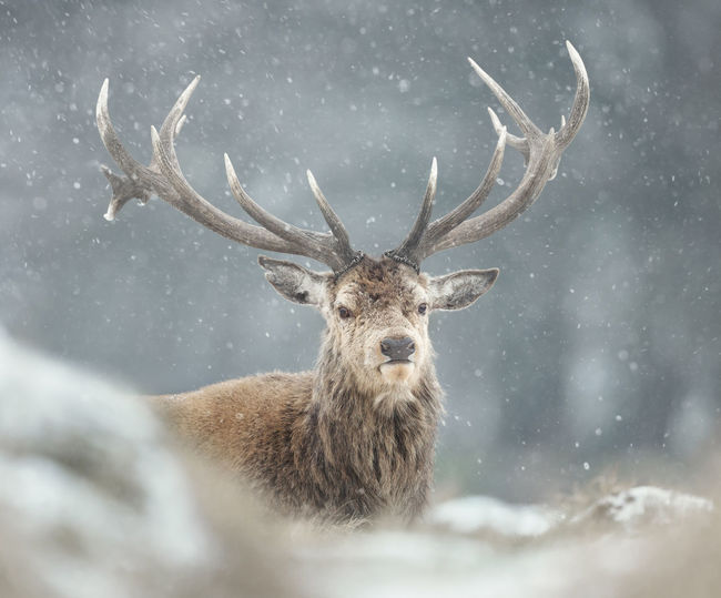 Portrait of deer during snowfall