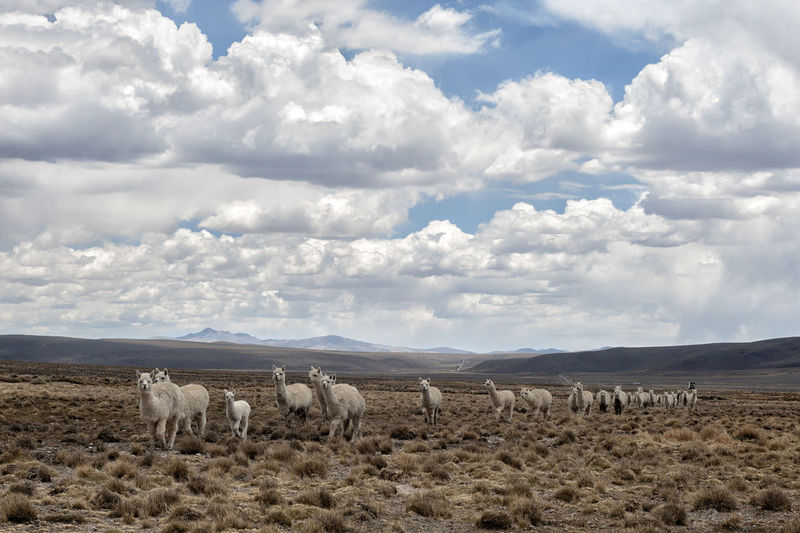 View of sheep on field against cloudy sky