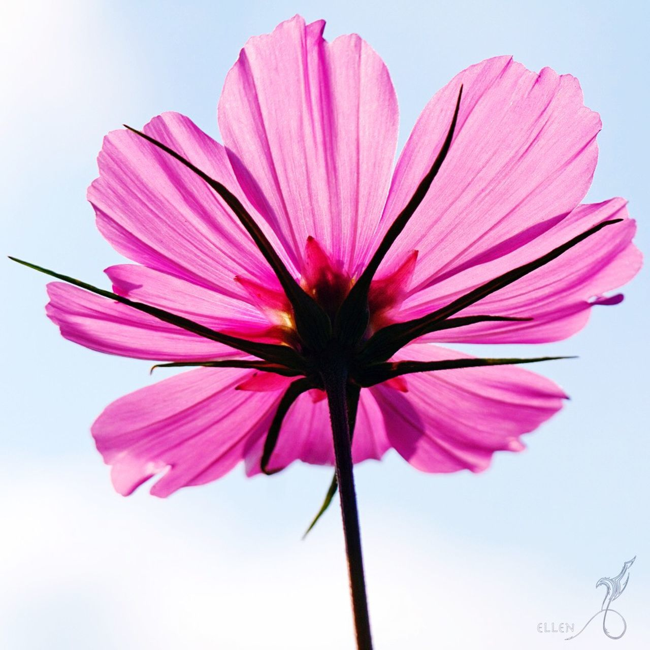 LOW ANGLE VIEW OF PINK FLOWERS