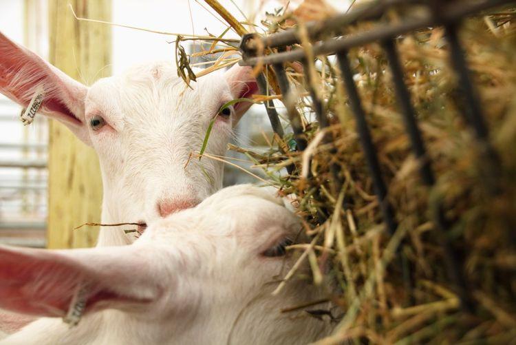 Mammal Livestock Close-up Animal Wildlife Domestic Animals One Animal Plant