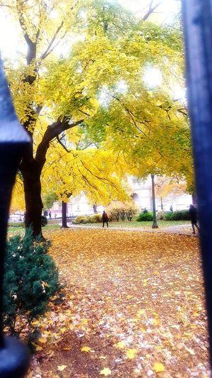 autumn mosaic Autumn Colours Toronto Downtown The 6ix Golden Leaf Pathway Osgoode Hall Autumn Mood Tree Autumn Yellow Sky Fall Maple Leaves Maple Leaf Autumn Collection Maple Tree