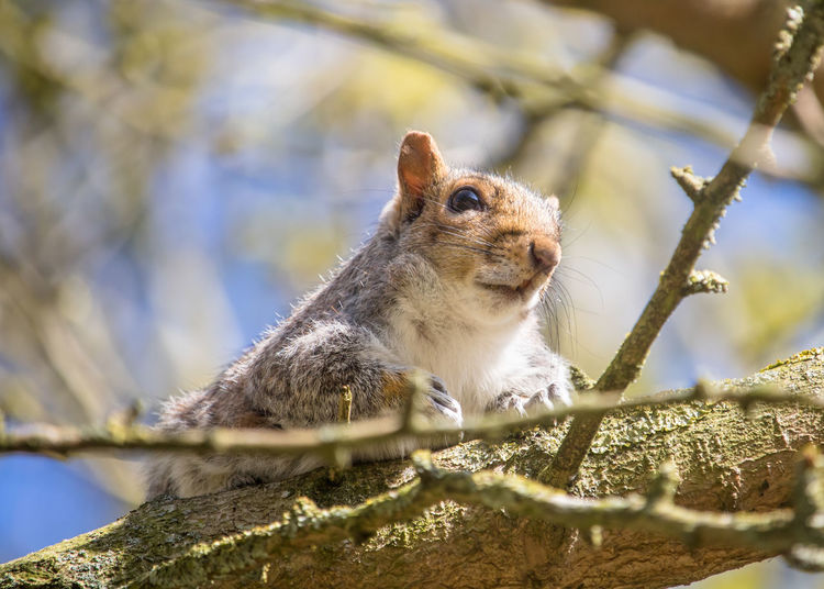 Close-up of grey squirrel resting on tree in spring morning sunshine. sciurus carolinensis