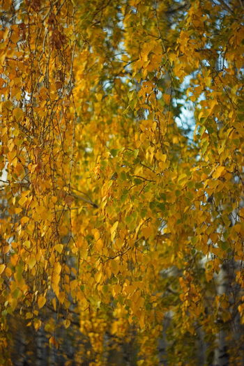 Golden autumn birch branches. EyeEm Best Shots - Nature Yellow Autumn Beauty In Nature Leaf Nature Change Outdoors Branch Fall Backgrounds Selective Focus Tree Yellow Color Yellow Leaves Autumn Leaves Autumn Collection Birch Branches Birch Helios Retro Lens Bokeh Background Gold Gold Colored NatureZiesel777 EyeEm Nature Lover Golden