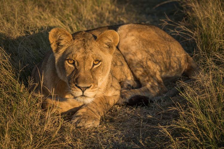 Portrait lioness relaxing on grassy field