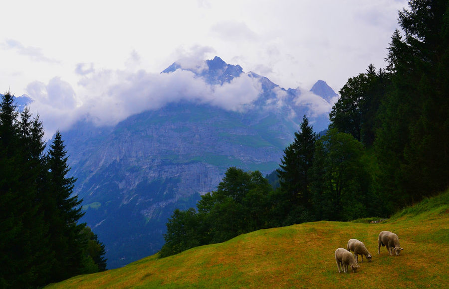 Hiking Trekking Animal Themes Beauty In Nature Cloud - Sky Day Domestic Animals Field Grass Grindelwald Landscape Mammal Mountain Mountain Range Nature No People Outdoors Scenics Sheep Sky Switzerland Tranquil Scene Tranquility Tree