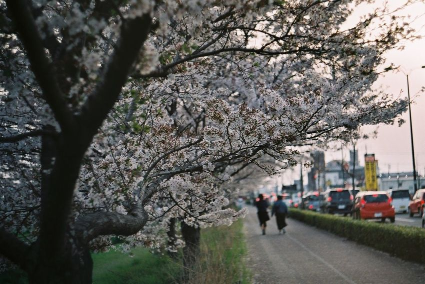 Tree Pentax SpII Fujicolor Industrial 100 Cherry Blossoms Sakura Flower Springtime Full Length Road Walking Blossom Sky Cherry Tree Cherry Blossom Flower Tree