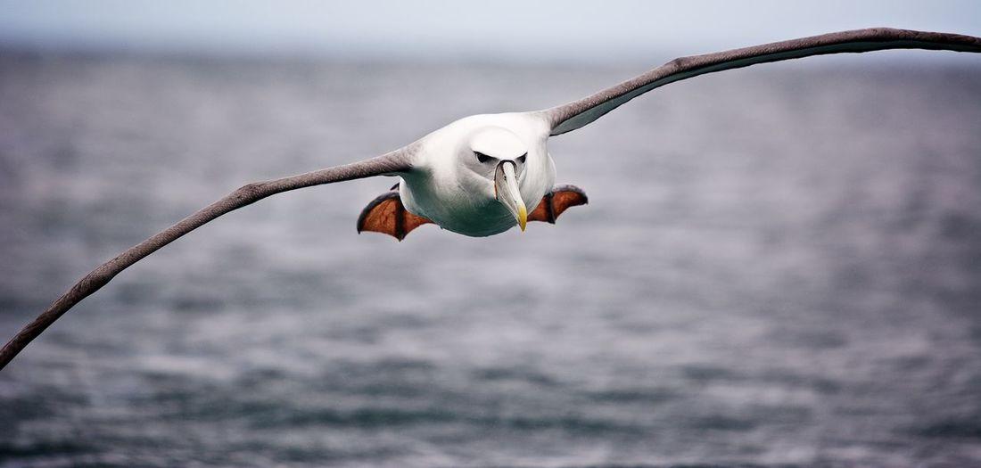 Albatross Photography Stewart Island, New Zealand White Capped Albatross Bird Birds In Flight Flying Mollymawk Nature Sea Bird Spread Wings