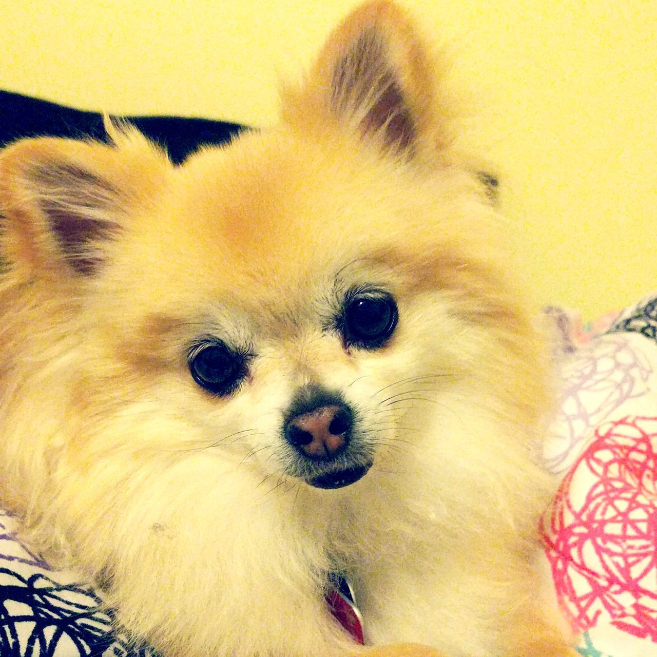 pets, domestic animals, animal themes, mammal, one animal, dog, pomeranian, looking at camera, indoors, portrait, close-up, home interior, no people, day