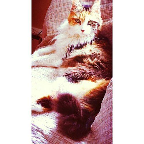 Calico Cats Meow🐱 Gatos Felines Felinecompanions Furfriend