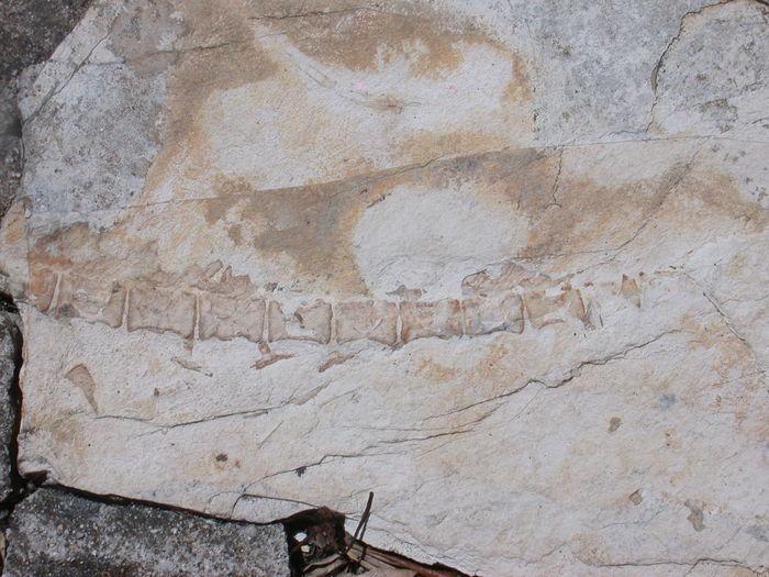 Fossil Close-up Dinasour Bones Outdoors