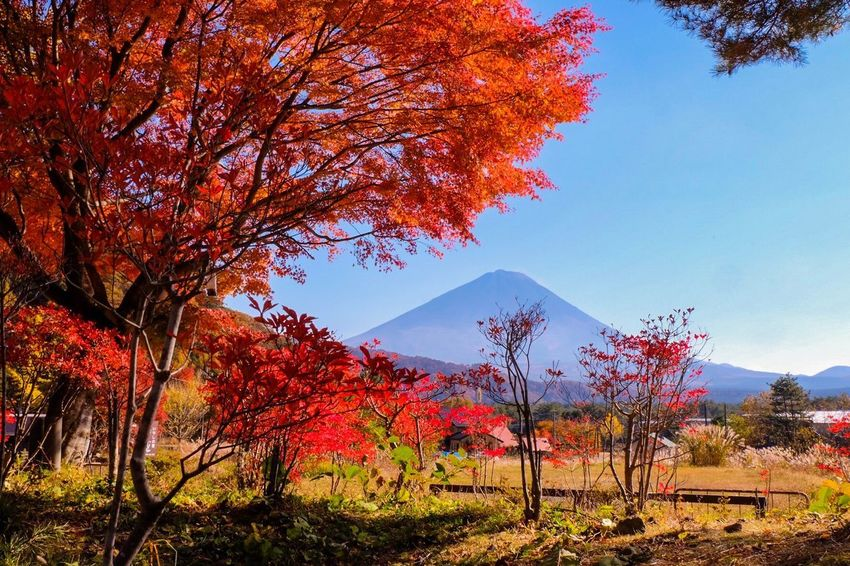Fuji mountain in Autumn season Japan Fujimountain Autumn Tree Beauty In Nature Nature Change Mountain Leaf Scenics Tranquility Tranquil Scene Outdoors Mountain Range Day Lake Landscape Sky
