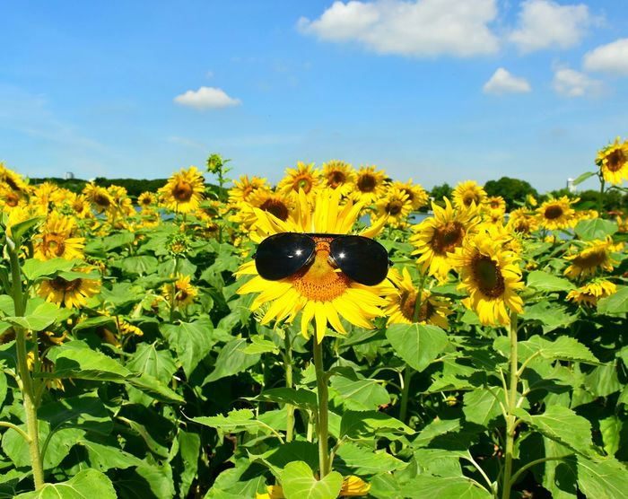 Protection sunflower. Sunfower Flowers Plants And Flowers Blossom Yellow Flower Bloom Outdoors Nauture Clouds And Sky Pollen