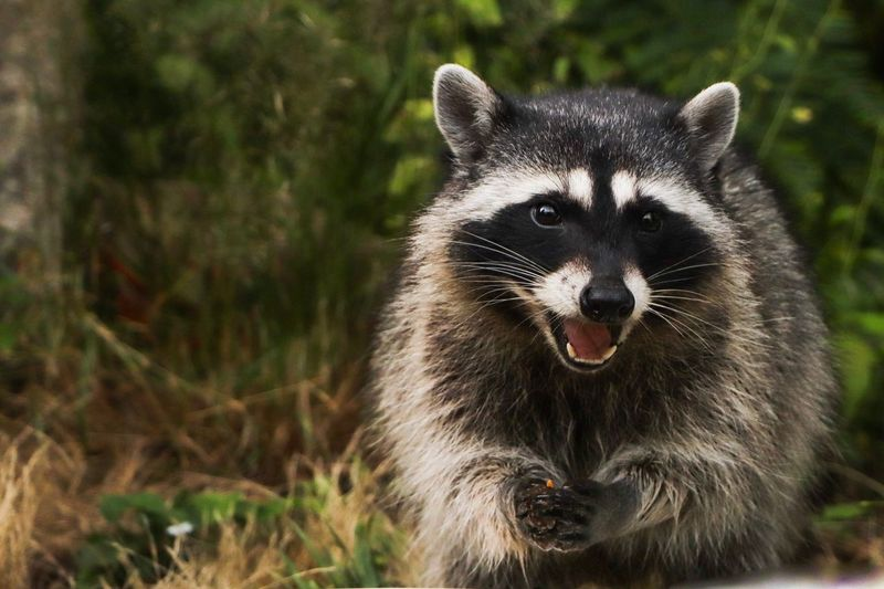 One Animal Mammal Animals In The Wild Animal Wildlife Vertebrate Portrait Raccoon No People Looking At Camera Focus On Foreground Nature Day Close-up Outdoors Looking Whisker