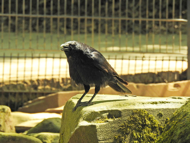 Abraxas Animal Animal Themes Animal Wildlife Animals In Captivity Animals In The Wild Bird Black Bird Cage Close-up Crow Day Focus On Foreground Full Length Nature No People One Animal Outdoors Perching Raven - Bird Rock Side View Sunlight Vertebrate