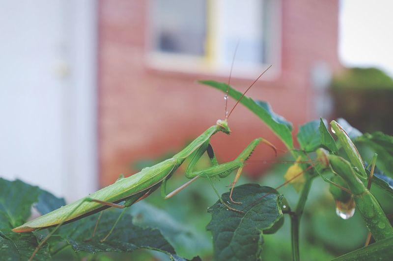 Macro Beauty Praying Mantis garden pals