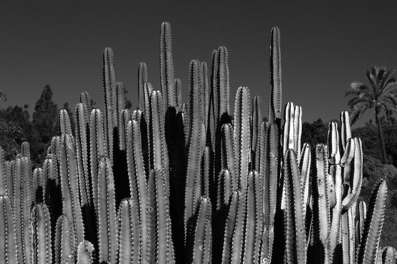 Cactus growing on field at night