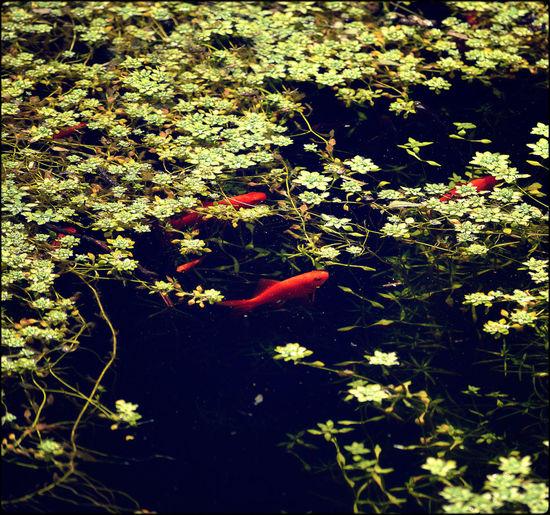 Goldfish Lotus Flower Lake Park