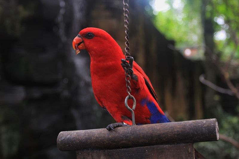 Eclectus parrot perching on wooden stump