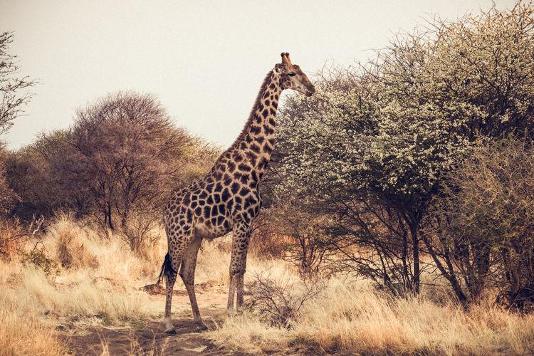 Giraffe standing on landscape against clear sky