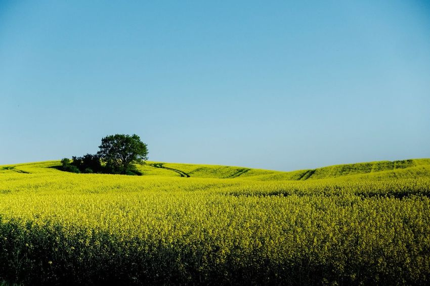 countryside... Plant Field Land Landscape Growth Environment Tranquil Scene Tranquility Beauty In Nature Sky Scenics - Nature Agriculture Rural Scene Green Color Farm Yellow Nature Crop  Clear Sky No People