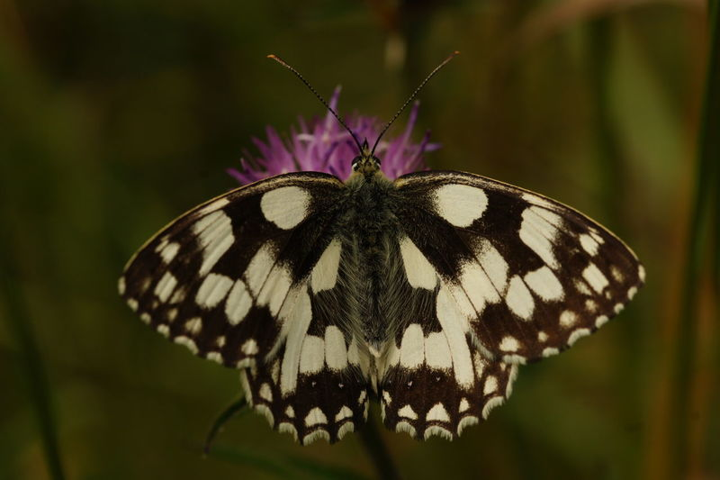 Beauty In Nature Butterfly Butterfly - Insect Close-up Day Flower Fragility Freshness Insect Nature No People One Animal Outdoors Perching Plant