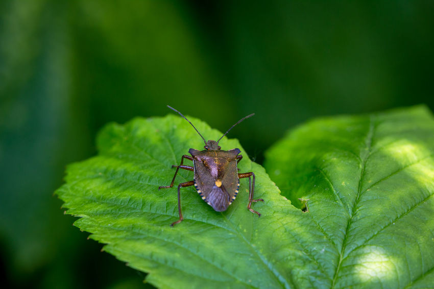 Animals In The Wild Brown Brown Marmorated Stink Bug Bug Close-up Green Color Insect Leaf Marmorated Nature No People Outdoors Pest Plant Shield Bug Stink Bug