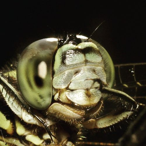 Idungku gatel nih. Dragonfly_of_the_day Dragonfly Dragonflies Ig_dragonflies tgif_macro alalamiya_macro bns_macro macro_x