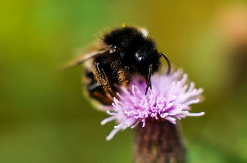 Beauty In Nature Bumblebee Close-up Flower Flower Head Insect Nature Selective Focus