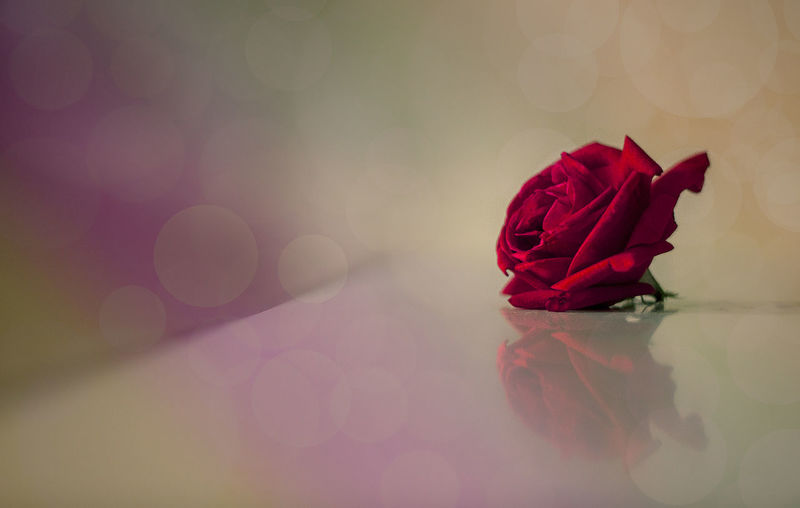Red rose on glass table