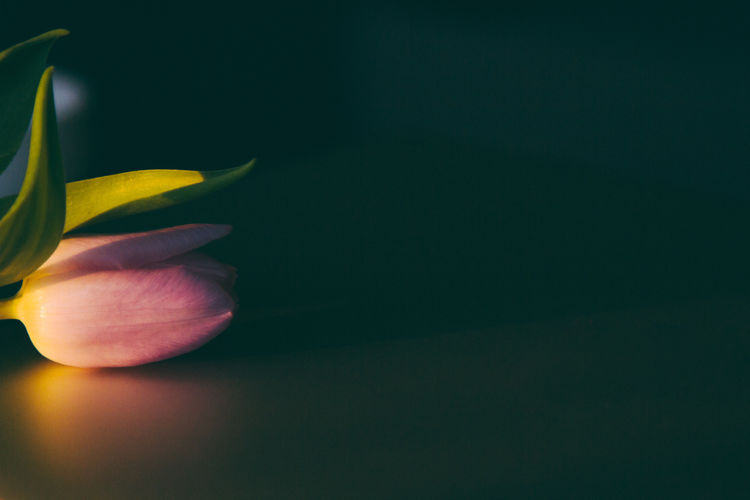 Close-up of yellow tulip against black background