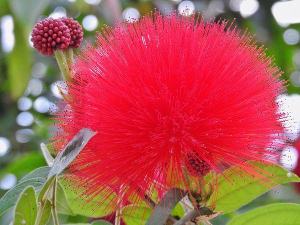 AustralianBottleBrushFlower Seftonpark PalmHouse Liverpool Nature