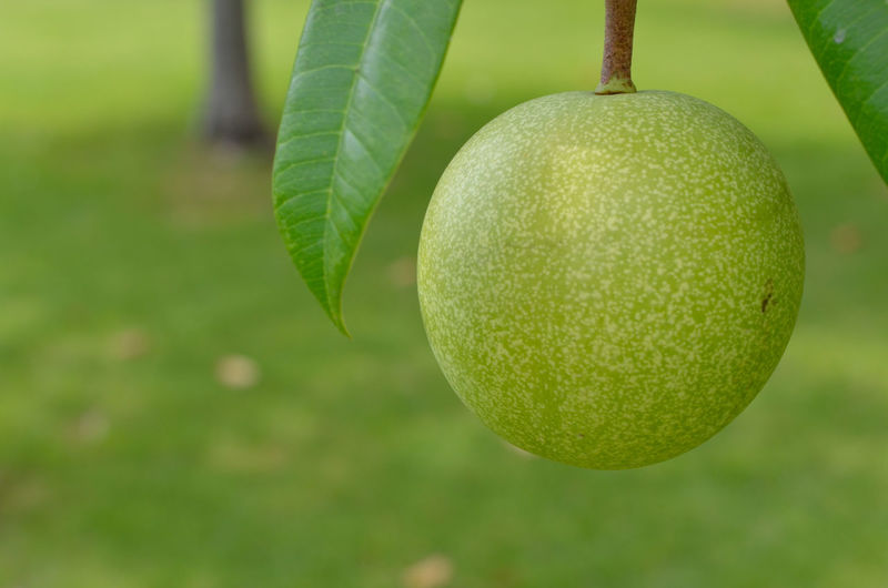Close-up of green fruit hanging on plant
