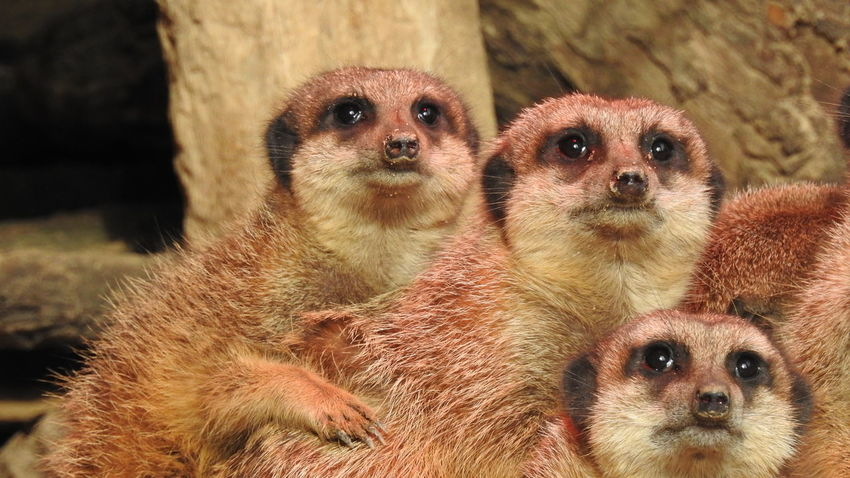 Day Animals In The Wild Togetherness Outdoors Animal Wildlife Nature Representing Mammal Animal Themes Close-up No Filter No Edit Animals In The Wild Meerkat Meerkats Suricate Suricates Cute Funny EyeEmNewHere Surprise Astonishment Fascination Unity Closeness Sticking Together The Great Outdoors - 2017 EyeEm Awards Lost In The Landscape