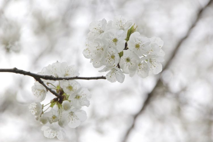 Blossom Cherry Blossoms Focus On Foreground Freshness Growth Petal White Color