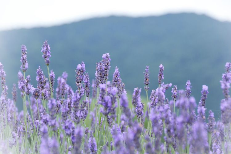 Lavender Flowers Wildflowers Wild Flowers Focus On Foreground Beauty In Nature Nature EyeEm Nature Lover Exceptional Photographs Warking Around Mountain Hello World Getting Inspired Enjoying Life Outdoors Nature Photography Nikon D3200 Japan Summer Summer Memories 🌄