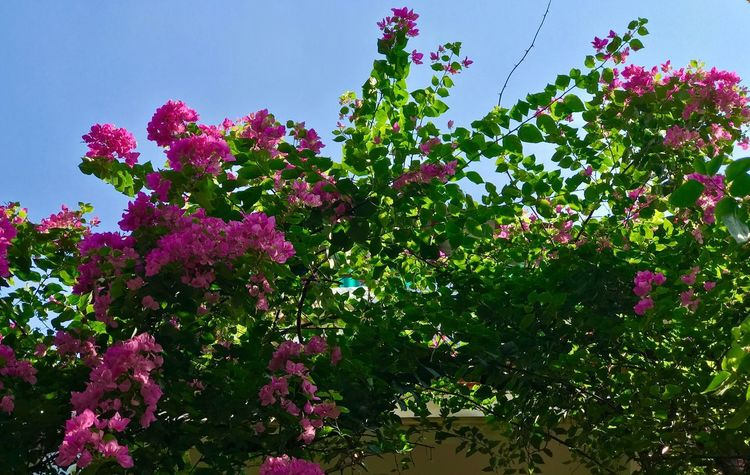 Pink flowers, green leaves and the blue sky Plant Flowering Plant Flower Freshness Beauty In Nature Growth Pink Color Outdoors Blossom Clear Sky No People Sky Tree Day Nature Vulnerability  Fragility Low Angle View