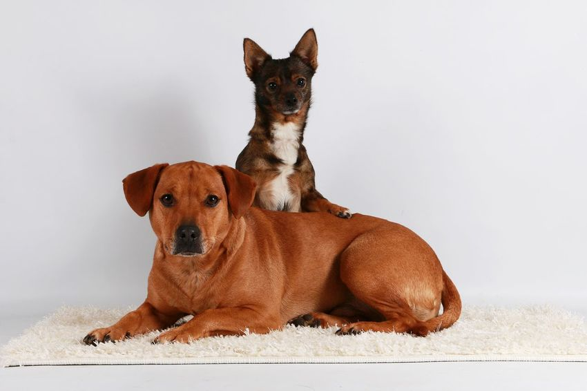 two friends in the studio Chihuahua Love ♥ Cute Pets FUNNY ANIMALS Friends Labrador Portraits Animal Themes Brown Chihuahua Cute Dog Domestic Animals Indoors  Looking At Camera Mammal Mixed No People Pair Pets Portrait Sitting White Background