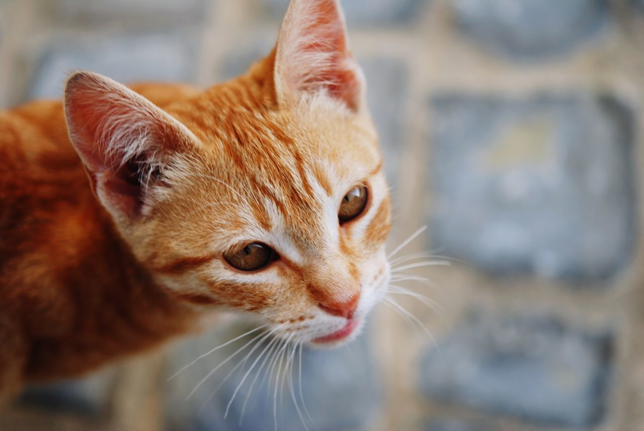 High Angle View Of Orange Cat Standing On Cobblestone Street