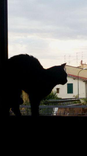 Gatto Gattonero Cat Whatching Window Felino Silhouette Osservando