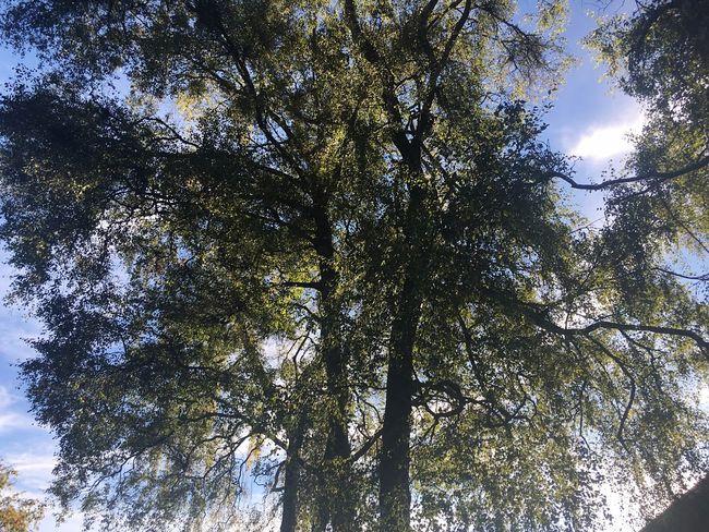 Tree And Blue Sky Tree Bavarian Trees