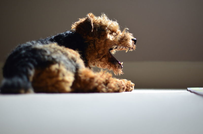 Welsh terrier puppy yawning while lying on floor