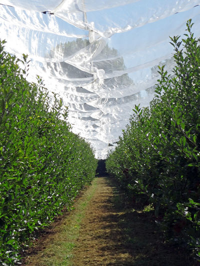 Orchard Trees Tree Lined Under With Net The Way Forward Apple Trees  Without Apples Orchard Protection Net Protection Sky Diminishing Perspective Nature Outdoor Day Green Lines Agriculture Grass Green Color Countryside Plantation Pathway Empty Road