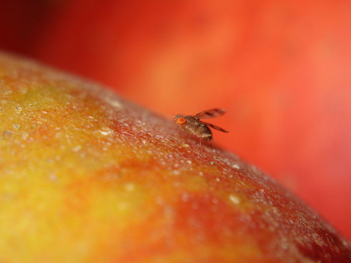 Animal Themes Animal Wildlife Animals In The Wild Close-up Day Insect Nature No People One Animal Outdoors Small Fly On An Apple