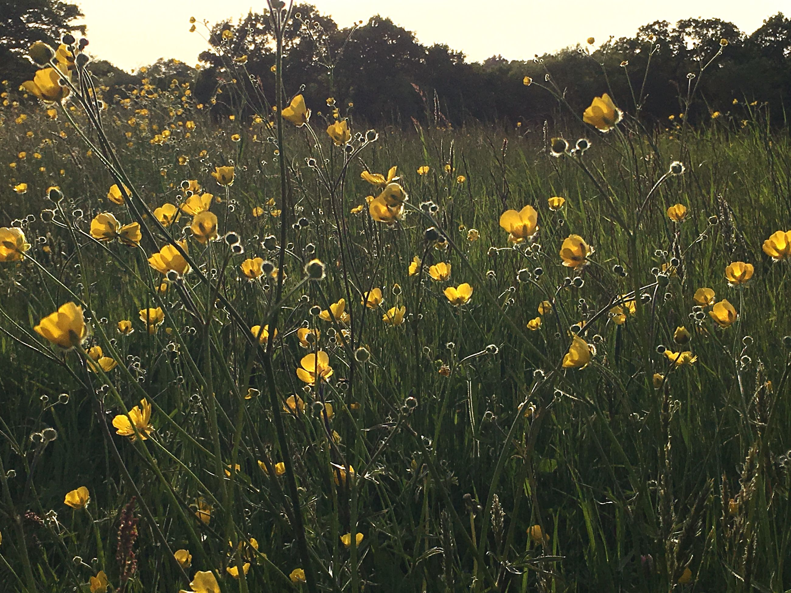 plant, growth, field, yellow, flower, flowering plant, land, beauty in nature, fragility, vulnerability, freshness, nature, no people, landscape, tranquility, flower head, sky, day, agriculture, close-up, outdoors, spring, flowerbed
