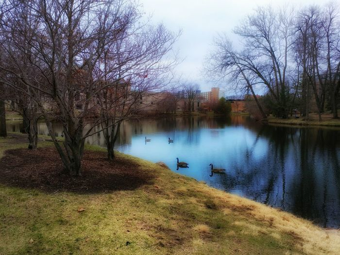 Ducks in a lake Bare Tree Beauty In Nature Branch Day Grass Lake Nature No People Outdoors Reflection Scenics Sky Tranquil Scene Tranquility Tree Water First Eyeem Photo