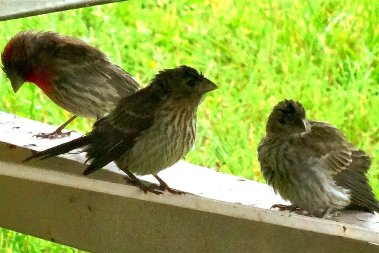 EyeEm Nature Lover Trying To Get Dry Wet Birdies Finches Wild Birds Beautiful Nature Bird Watching Birds Rainy Day In My Backyard