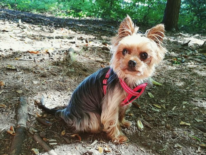 Walk in the woods. Dog Outdoors Creech Woods Adorable Dog Yorkshire Terrier Woods Big Eyes